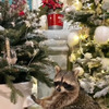 лучшие фото raccoon.tema
