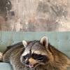 фотография raccoon.tema