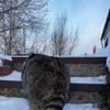 новое фото raccoon.tema